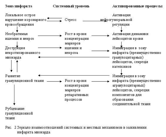 Зеркало взаимоотношений системных и местных механизмов в заживлении инфаркта миокарда